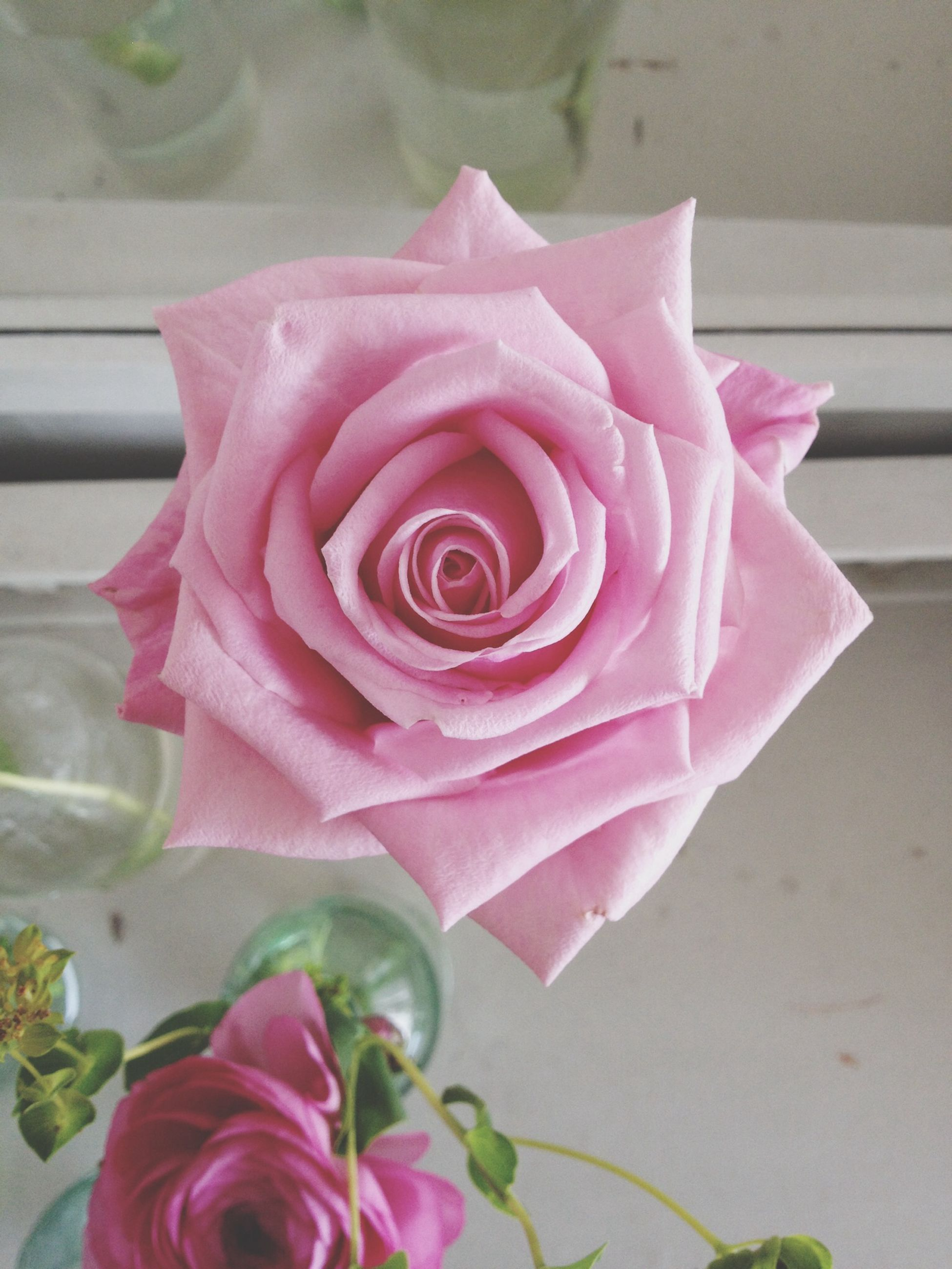 flower, petal, flower head, pink color, rose - flower, fragility, freshness, beauty in nature, single flower, close-up, blooming, nature, rose, pink, water, focus on foreground, growth, plant, day, in bloom