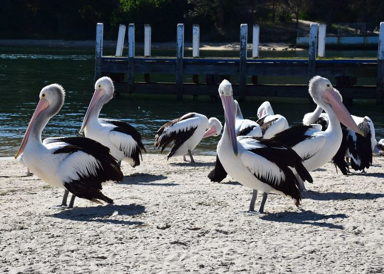 Group Of Animals Vertebrate Animal Themes Animal Animal Wildlife Animals In The Wild Bird Sunlight No People Nature Day Land Field Water Outdoors Railing Focus On Foreground Lake Large Group Of Animals Pelican