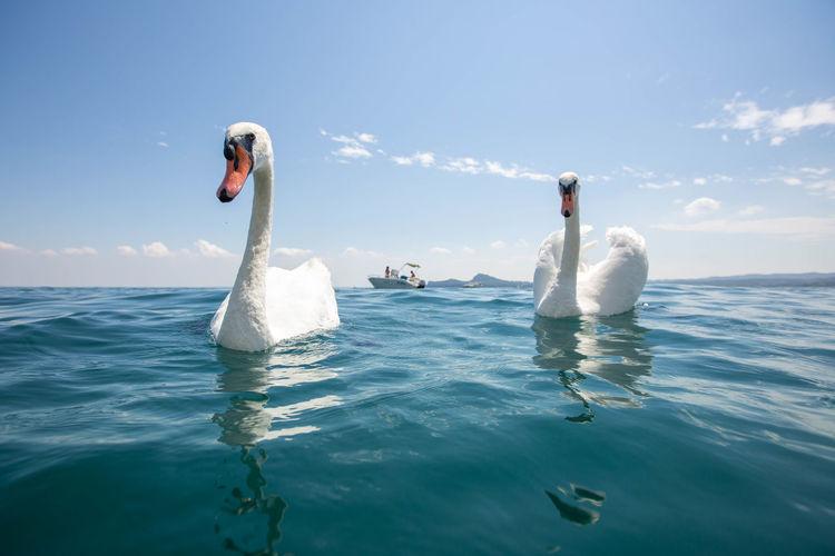 Two swans swimming in sea at lake garda italy