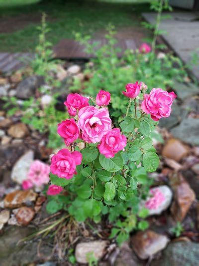 Flower Flower Head Pink Color Leaf Close-up Plant