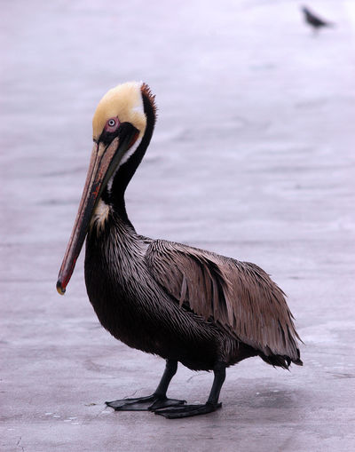 Animal Head  Animal Themes Avian Beak Beauty In Nature Bird Close-up Day Focus On Foreground Lake Nature No People Outdoors Pelican Rippled Water Water Bird Wildlife