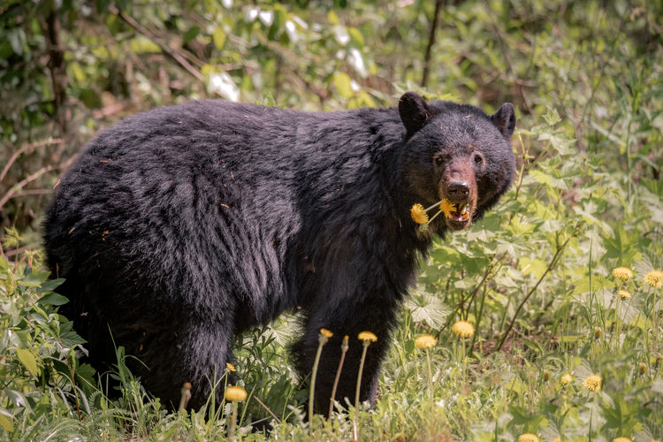 """Throwback to summer dandelions and bears. Taken in Nisga'a Memorial Lava Bed Park (Anhluut'ukwsim Laxmihl Angwinga'asanskwhl Nisga'a). The park is included in the landmark treaty, the """"Nisga'a Final Agreement"""", between the Government of Canada and the Nisga'a Nation. Nisga'a Memorial Lava Bed Park is also the first provincial park to be jointly managed by a First Nation and BC Parks. Northern British Columbia, Canada Love Life, Love Photography Animal Animal Themes Animal Wildlife Mammal Animals In The Wild One Animal Bear Nature Plant No People Grass Vertebrate Land Day Outdoors Survival Field Hunting Non-urban Scene Profile View Aggression  Dandelions Nisga'a Memorial Lava Bed Park Northern British Columbia, Canada"""