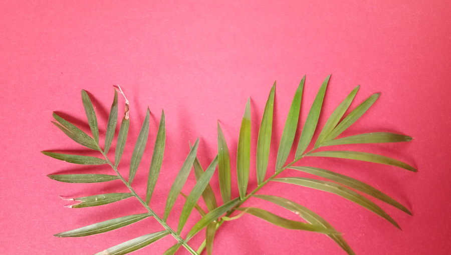 Bunch Palm Leaf Prepared Food Red Background Blooming Banana Tree Palm Tree Rowanberry Unripe Frond Fern Date Dried Fruit Palm Frond Coconut Palm Tree Tropical Tree Bundle Red Grape Orange Background Vine Date Palm Tree Leaf Vein Plant Life Leaves Petal