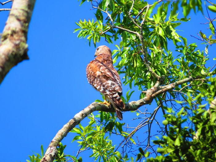 Wild hawk on branch Florida Hawks Hawks Of Eyeem Hawk Hawk - Bird Bird Tree Perching Branch Blue Bird Of Prey Animal Themes Sky Tropical Bird