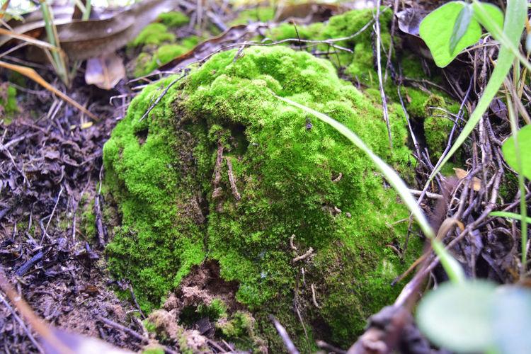Leaf Moss