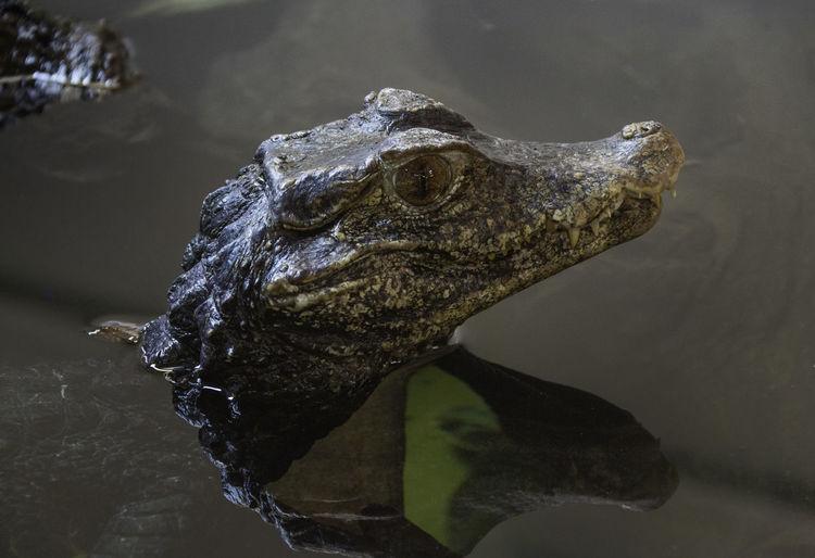 Water Animal One Animal Reptile Crocodile Animal Head  Caiman Reflection