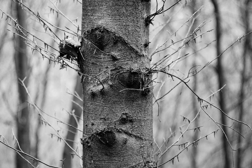 Tree Tree Trunk No People Outdoors Blackandwhite Firtree Fuji-xe2s Showcase: January Tenebrio.photos Zeiss60mm Contrast Day Nature Low Angle View Branch Sky Perching