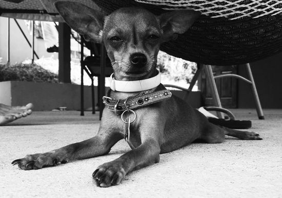 Blackandwhite Chihuahua Dog Domestic Animals Looking At Camera No People Pets Portrait