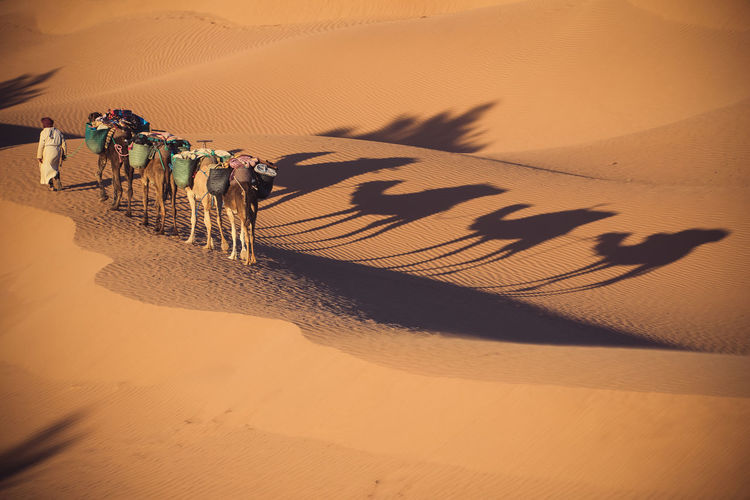 High angle view of man walking with camels in desert