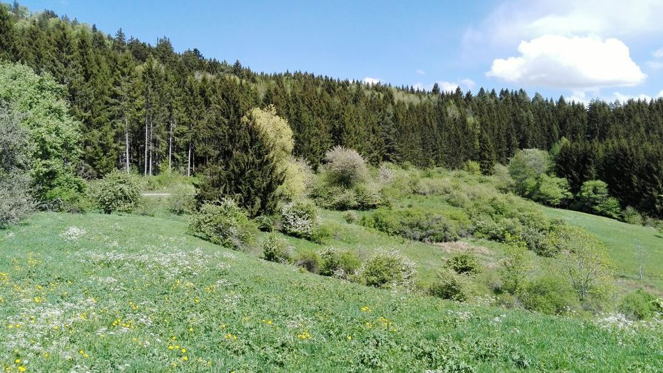 albsteig a beautiful hiking trail in the south of Germany Grass Grassland Pasture Meadow Germany Blue Sky Sky Springtime Albsteig Schwäbische Alb Hiking Hiking Trail Trees Forest WoodLand Landscape Agricultural Field Farmland Needle - Plant Part Growing Pine Woodland Cultivated Land