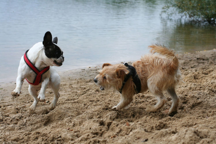 Bully Dog Dogs Domestic Animals Draußen Französische Bulldogge  French Bulldog Frenchbulldog Frenchie Hund Hunde Lake Outdoors Pets Playing Dogs Spielende Hunde Two Animals Two Dogs Two Dogs Playing