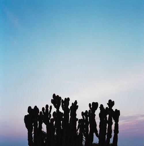 Reach for the Sky Outdoors Desert California Landscape Nature Cactus Cactus Garden Film Rolleiflex Medium Format Kodak Sunset Dusk