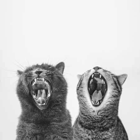 ShoutOut Anger Animal Behavior Animal Themes Black And White Cat Cats Close-up Day Domestic Cat Feline Mammal Mouth Open Nature No People Outdoors Scream Studio Shot White Background Yawning Yawning Cat