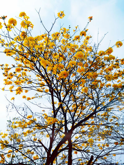 Yellow Flower Trees Flowers