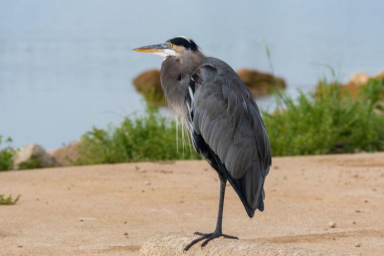 Gray heron perching on a land