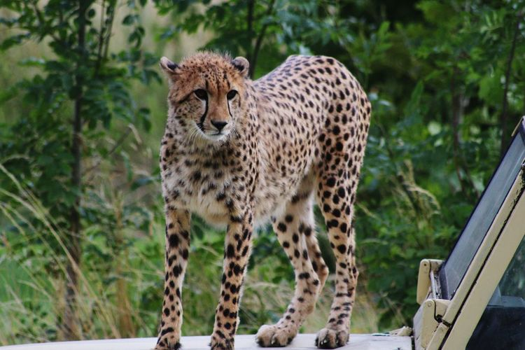 Portrait of a cheetah against blurred plants