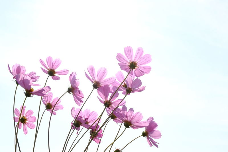 Clear Sky Cosmos Cosmos Flower Day Flower Flower Stem Fragility Outdoors Petal Pink Color Purple Sky Spring