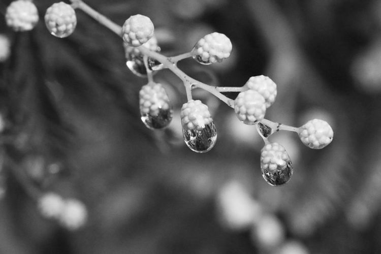 Rainy day Blurred Background Water Drops Water Droplets Rain Drops On Flowers Mimosa Flowers Mimosa Black And White Photography 3XPUnity Taking Photos Beautiful Nature Flowers Of EyeEm Nature Reflection Photography Reflections Flower Branch Tree Flower Head Twig Close-up Plant Plant Life Bud
