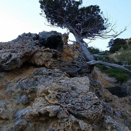 Pino marittimo - isola rossa monte argentario MonteArgentario Toscana Toskana Maremma Mare Sea Scogli Hiking Sunset