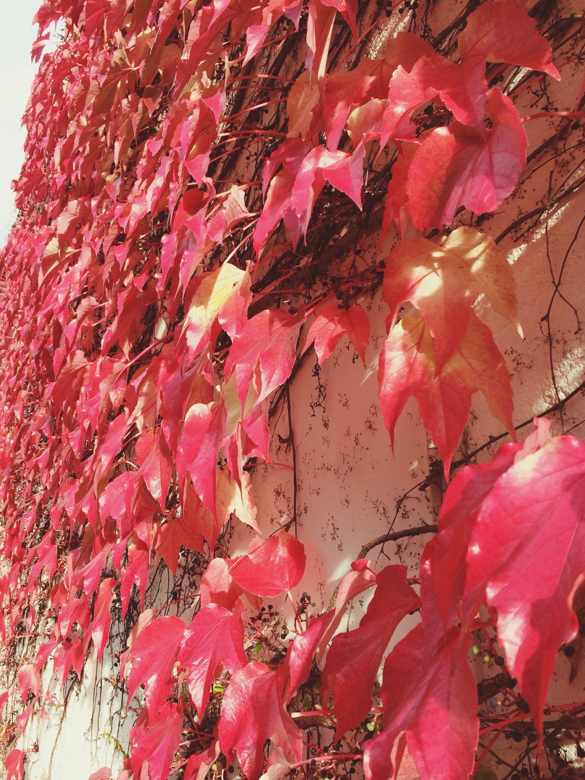 red, pink color, growth, nature, close-up, flower, low angle view, season, leaf, branch, autumn, outdoors, fragility, beauty in nature, plant, change, day, no people, tree, full frame