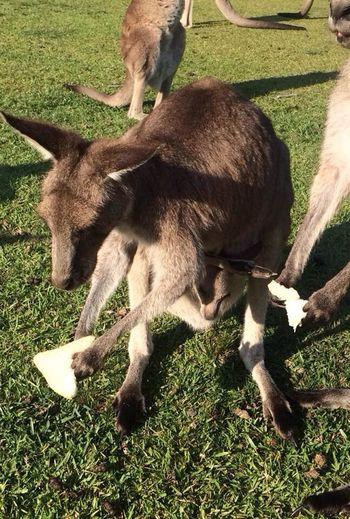 Adult Animal Animal Animal Themes Day Kangaroo Mammal Nature Outdoors