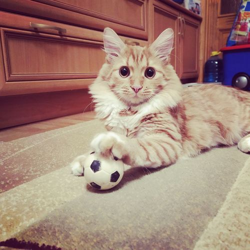 Portrait of cat relaxing on ball at home