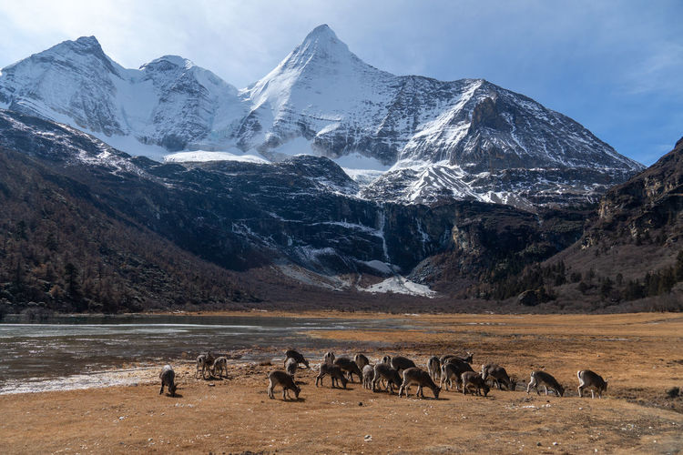 Flock of sheep on snow covered mountain