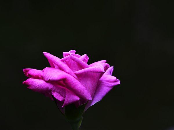 rose pink EyeEm Gallery EyeEm Best Shots Eyeem4photography EyeEm Nature Lover Beauty In Nature Macro Flower Head Black Background Flower Studio Shot Pink Color Petal Purple Peony  Close-up Plant Life In Bloom Blooming Rose - Flower