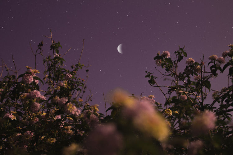 Plant Beauty In Nature Sky Moon Night Nature Tree Growth Flower Tranquility No People Scenics - Nature Tranquil Scene Flowering Plant Astronomy Space Low Angle View Outdoors Fragility Star - Space Purple Space And Astronomy Planetary Moon
