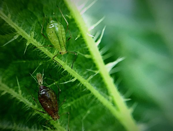 Smartphone Macro IPhoneography Macro Smartphonephotography Smartphone Photography Aphids Green Color Insect Insects  Insect Photography Greenfly Green Fly Pest Nettle Garden