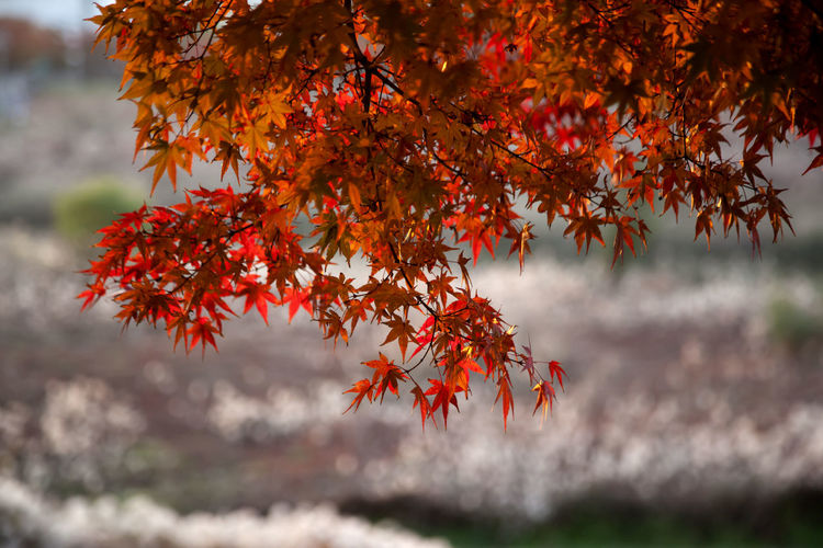 autumn at Anyangcheon in Seoul, South Korea Anyangcheon Autumn Fall Beauty Autumn Autumn Color Beauty In Nature Branch Change Close-up Day Fall Growth Leaf Leaves Maple Maple Leaf Maple Tree Nature No People Orange Color Outdoors Red Scenics Tranquility Tree