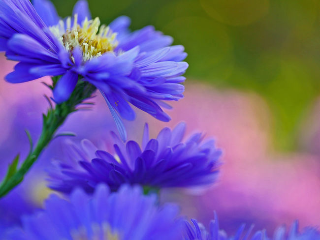 blue aster close-up with a purple and green background Garden Flowers Summertime Aster Beauty In Nature Birthdaycard Blooming Blue Brthdaycards Close-up Flower Flower Head Fragility Growth Nature No People Petal Plant Purple