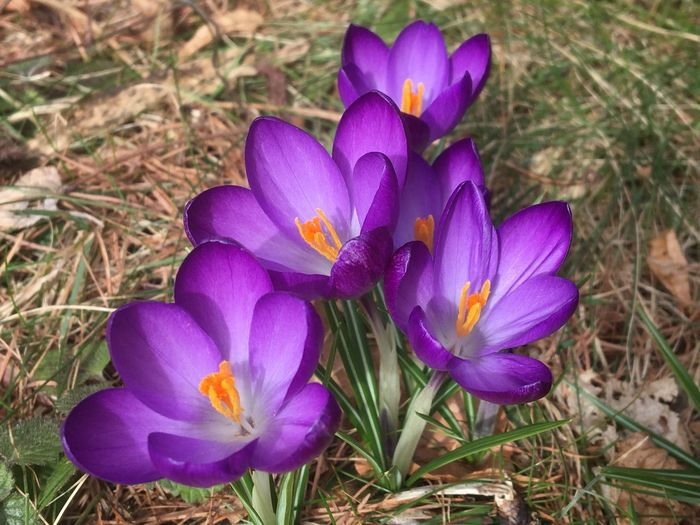 Lila Krokus - die ersten Frühlingsboten Krokuss Krokusse Krokusse Flower Flowering Plant Plant Purple Crocus Iris Fragility Vulnerability  Petal Beauty In Nature Growth Freshness Close-up Flower Head Pollen