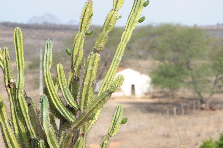 Brazil Brazilian Cacti Cactus Cactus Collection Cactus Garden Cactus Paradise Cactusflower Cactuslover Cactusplants Cactusporn Ceará Day Growth Landscape Nature No People Plant