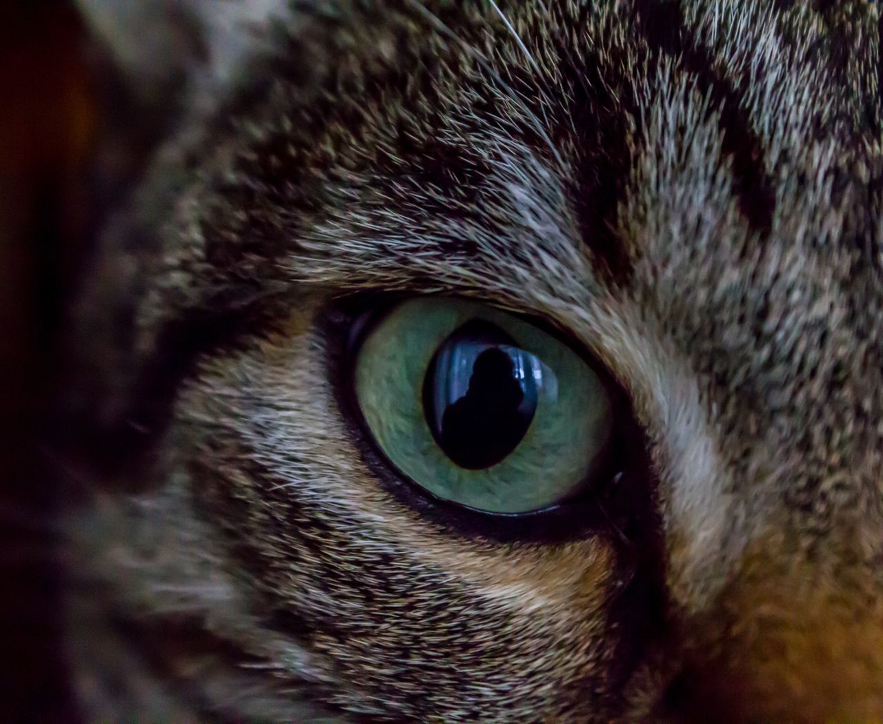 one animal, animal themes, animal eye, domestic cat, portrait, close-up, pets, animal head, looking at camera, domestic animals, mammal, feline, no people, yellow eyes, indoors, day