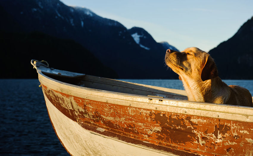 Yellow labrador retriever in boat on lake