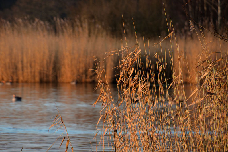 Dry grass on lake
