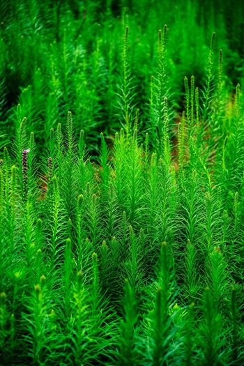 Life Growth Green Color Nature Plant Beauty In Nature Day Freshness No People Lush Foliage Close-up Leaf Outdoors Fern Full Frame Focus On Foreground Backgrounds Frond Fragility Lush - Description Grass