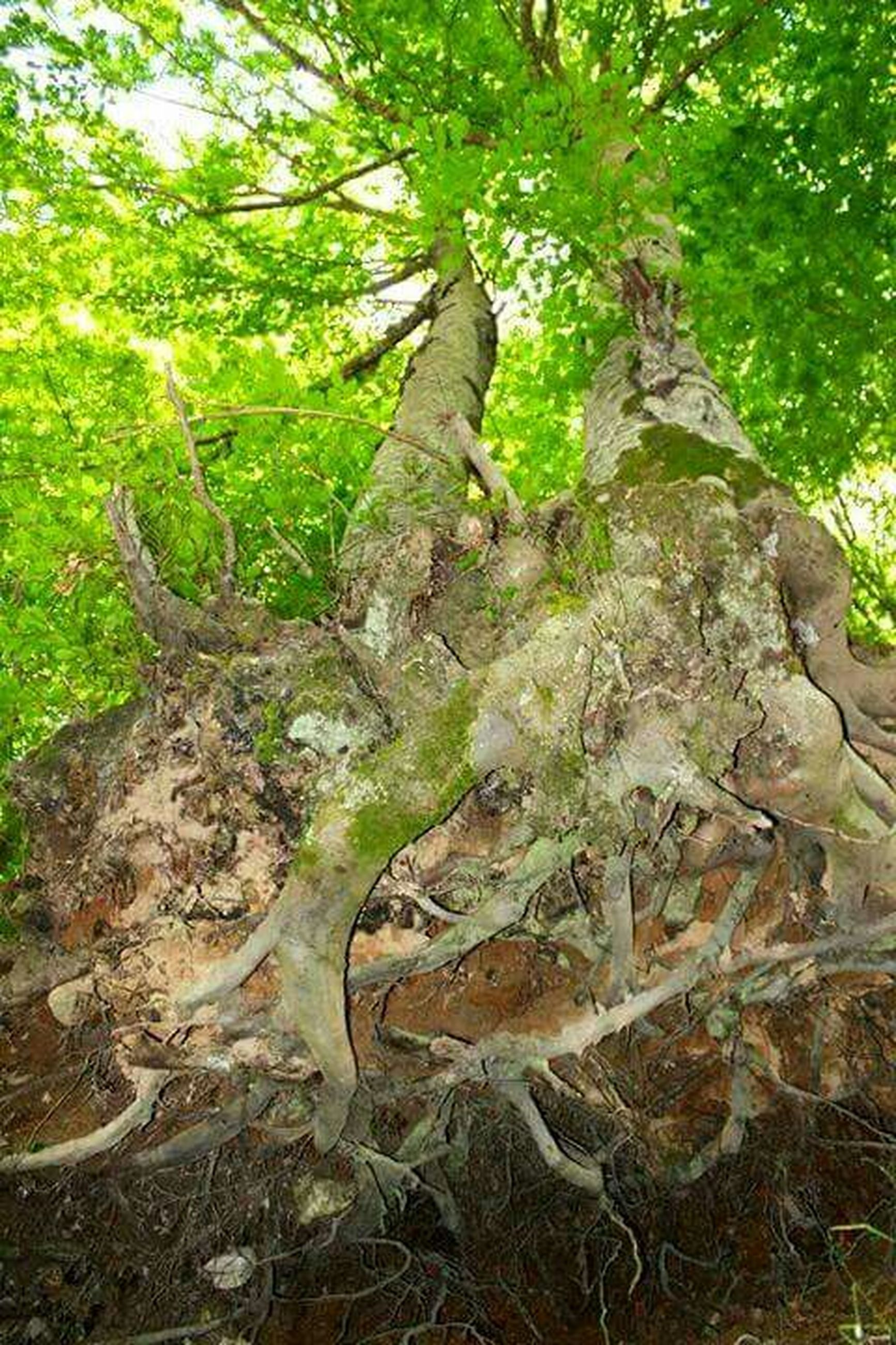 tree, forest, tree trunk, growth, branch, nature, tranquility, leaf, root, day, green color, outdoors, plant, no people, beauty in nature, woodland, moss, low angle view, textured, tranquil scene
