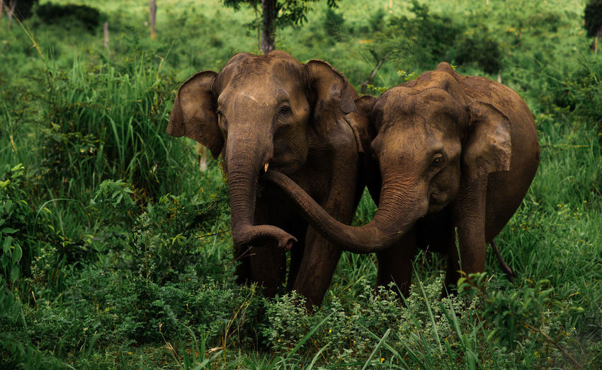 Elephants on field in forest