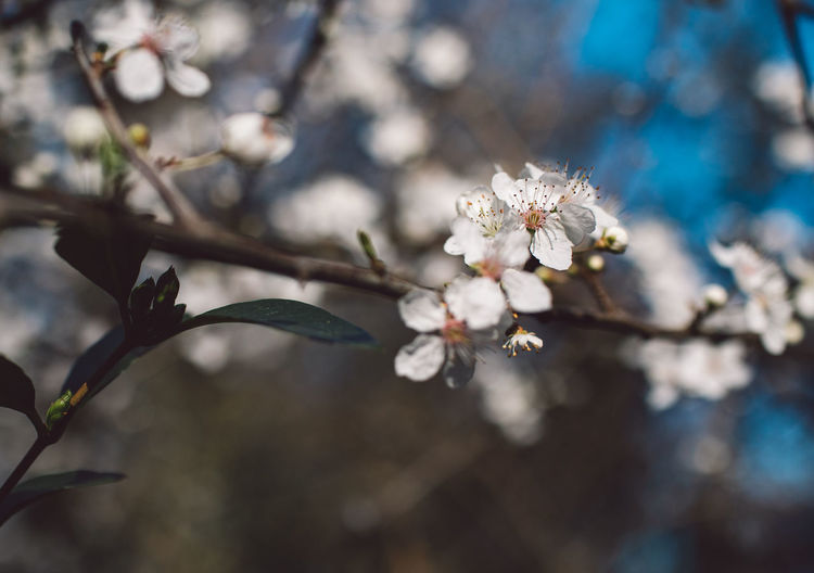 Flower Flowering Plant Plant Freshness Fragility Growth Vulnerability  Beauty In Nature Blossom Close-up Branch Springtime Focus On Foreground Tree Nature Day Twig White Color Cherry Blossom No People Pollen Flower Head Outdoors Cherry Tree Plum Blossom