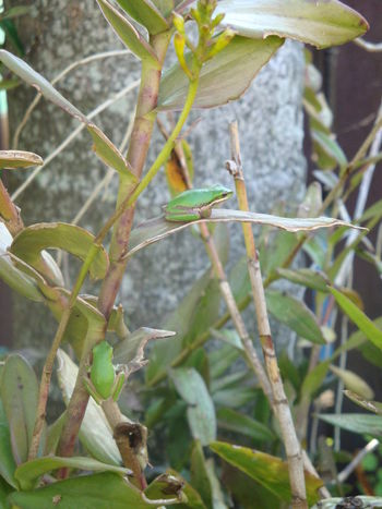Amphibians Animal Themes Beauty In Nature Close-up Day Freshness Green Color Growth Leaf Miniature Nature No People Outdoors Plant Small Tree Frog Two