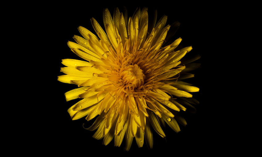 Close-up of yellow flower against black background