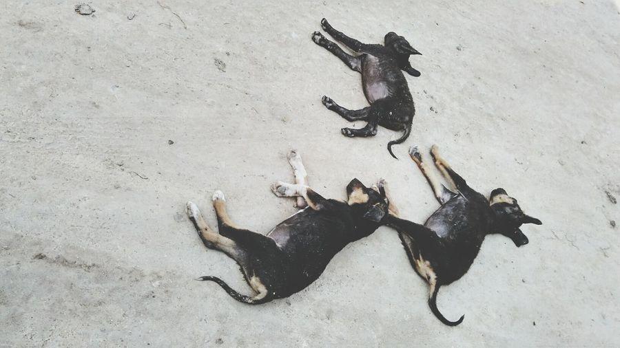 High angle view of stray dogs sleeping on sand