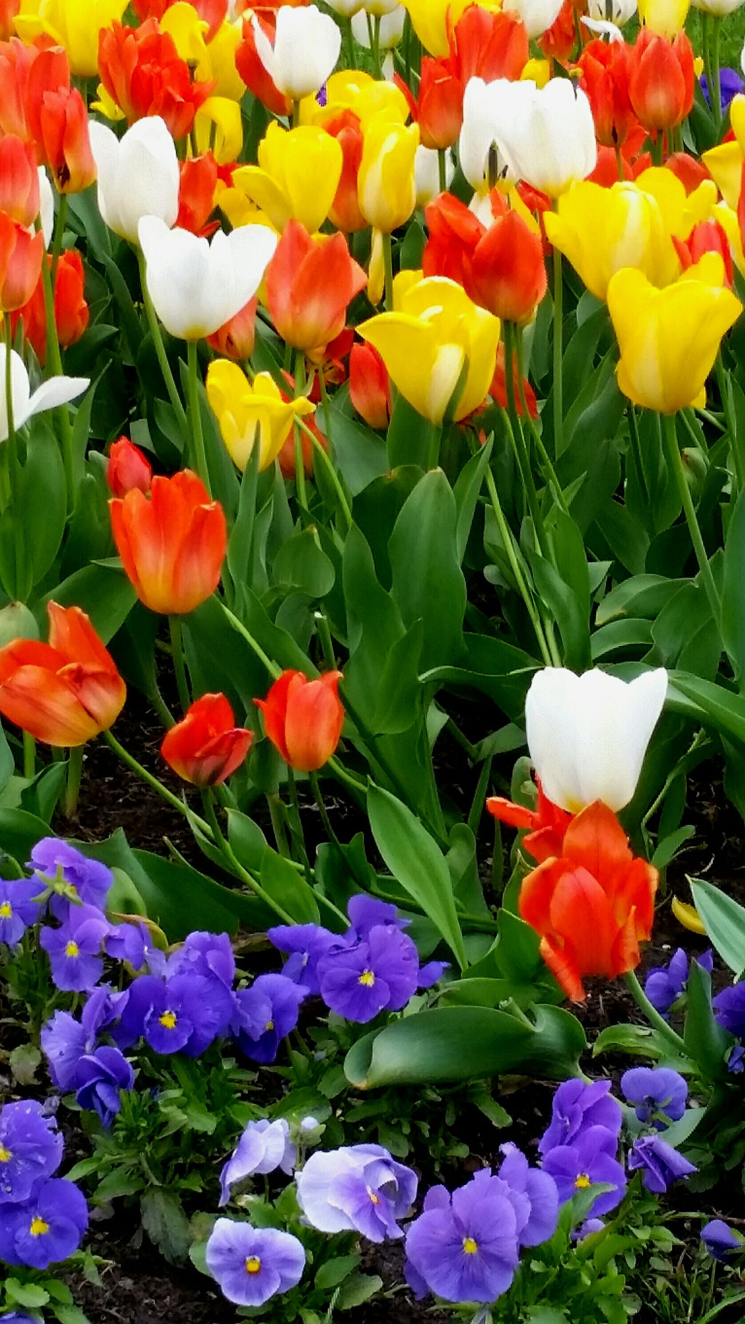 flower, freshness, petal, fragility, beauty in nature, flower head, growth, blooming, multi colored, tulip, abundance, nature, full frame, plant, high angle view, backgrounds, variation, field, in bloom, yellow