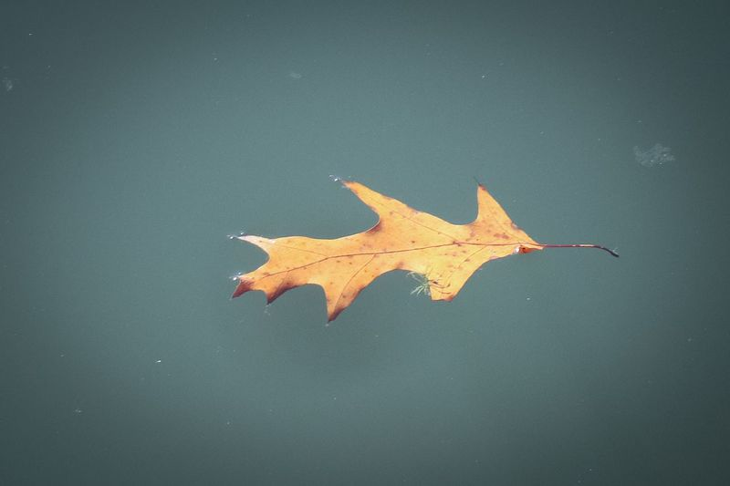 Floating Leaf Floating On Water Nature Star Shape Shape No People Water Autumn Outdoors Leaf