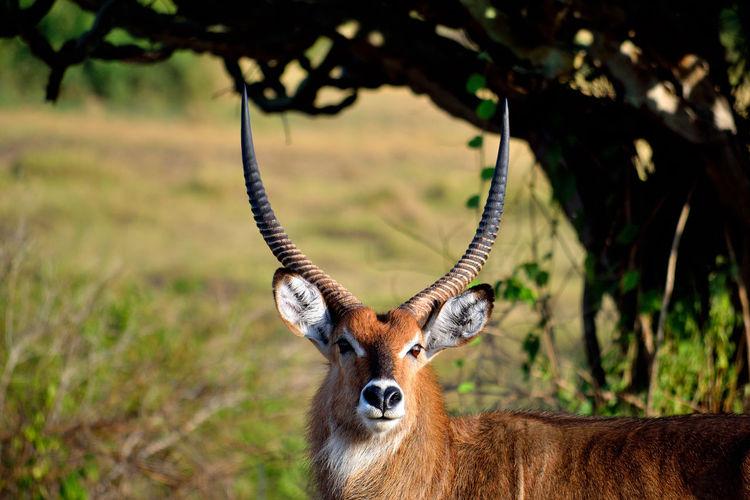 Portrait of big bushback antelope male in queen elizabeth national park, uganda.