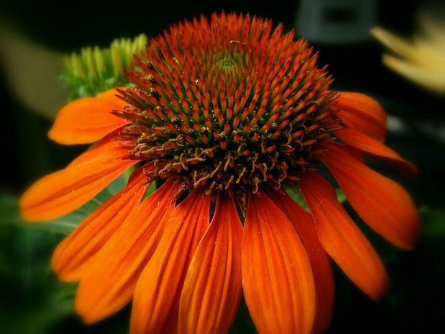 Macro EyeEm Macro Macro_flower Flowers Flowerlovers 🌷 Flowers 🌹 Yorange Taking Photos Beautiful Nature EyeEm Nature Lover Taking Pictures Fortheloveofcolor Hanging Out