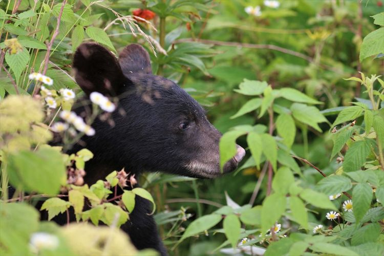 Black Bear in Great Smokey Mountain National Park One Animal Animal Mammal Animal Themes Plant Part Black Color Leaf Nature Animal Wildlife Plant Vertebrate Green Color Day Animals In The Wild No People Growth Land Selective Focus Outdoors Side View Black Bear Great Smokey Mountains Great Smokey Mountain National Park