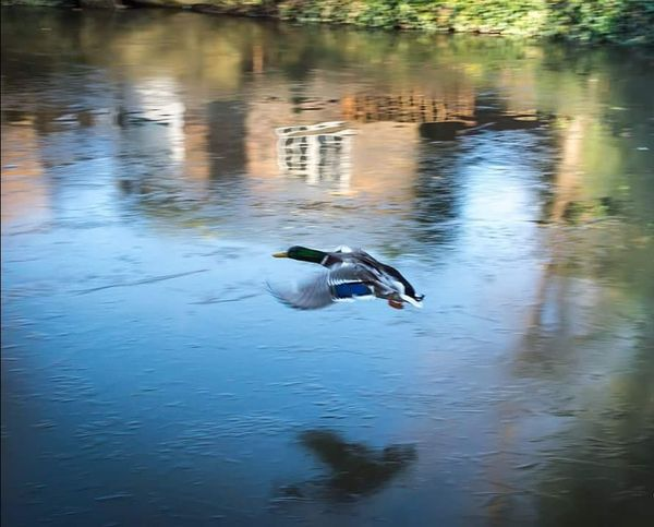 Flying duck above a frozen lake in Leighton Buzzard UK #EyeEmNewHere Frozen #Lake #nature_collection #EyeEmNaturelover #nature #Nature  #England #cold #dayout Lake Bird Duck Nature Day Outdoors No People Reptile